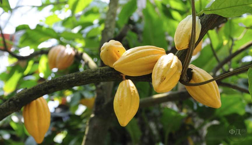 Плоди какао